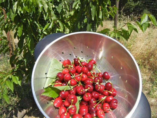 Bing Cherry Tree « Putney Farm