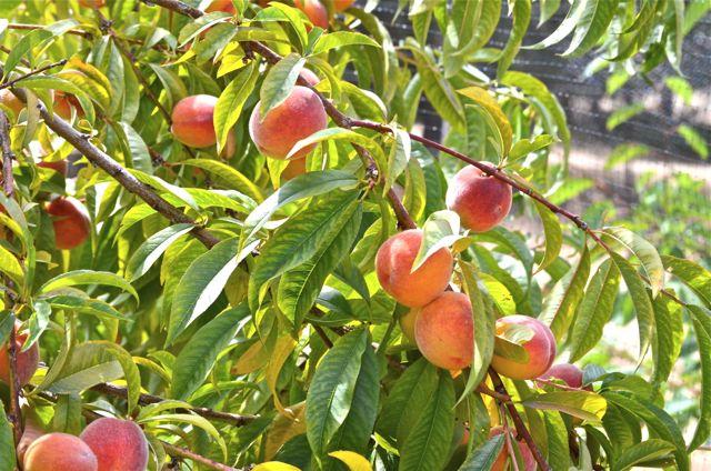 orchard update red haven peach harvest putney farm. Black Bedroom Furniture Sets. Home Design Ideas