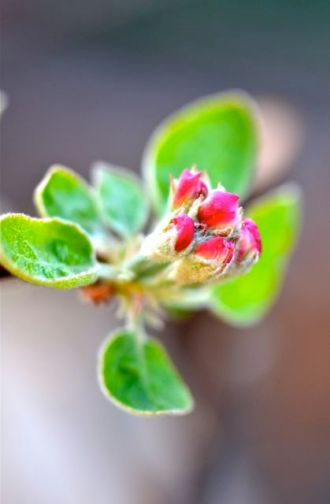 First apple blossoms.
