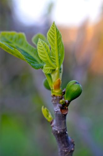 Figs, growing quickly.