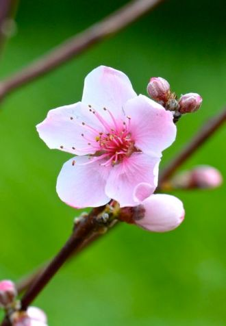 This is a peach blossom!