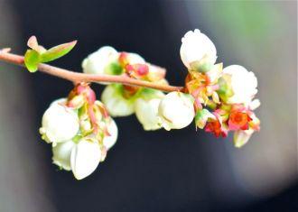 Blueberry blossom.