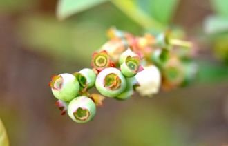 Blueberries forming.