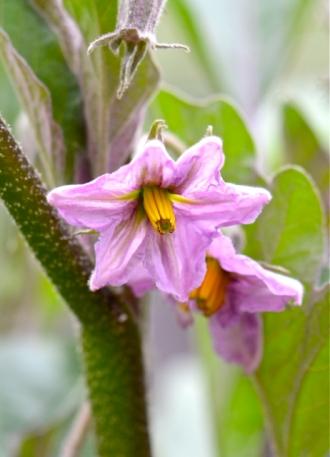 Eggplant blossom.